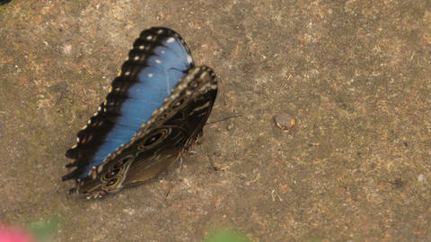 Blue morpho butterfly fluttering on ground Footage