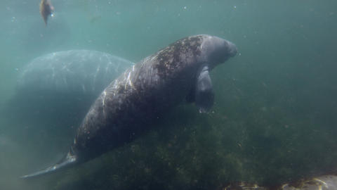 Group Of Manatees Swimming Underwater In Crystal River Florida USA Live Action