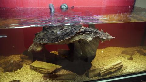 Mata mata Turtle, Chelus fimbriata swims in the aquarium Footage
