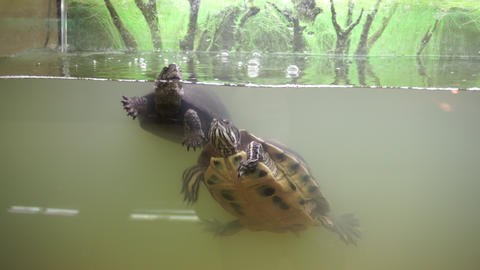 European pond turtle and red eared pond slider in terrarium Live Action