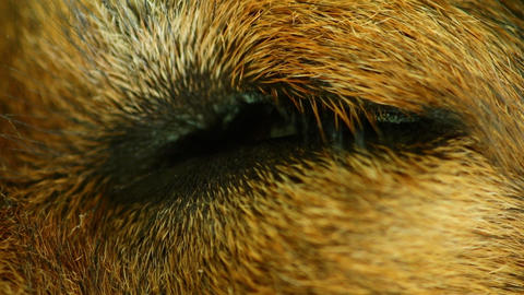 Dogs Eye Closed Then Opening Macro Closeup Stock Video Footage