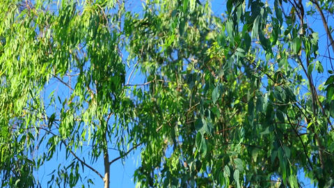Sliver Birch Tree Foliage With Blue Sky Background Footage