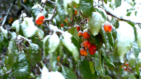 first snow covers paradise apples and green leaves on tree Footage