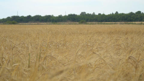 Field with wheat or rye. On the edge of field is worth wood Footage