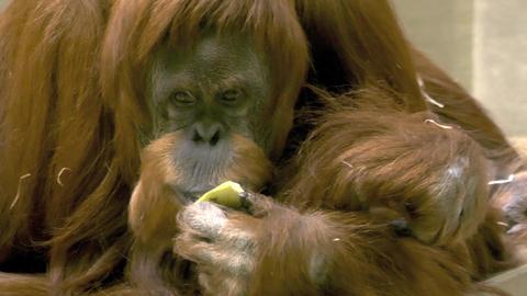 orangutan eating apple Live Action