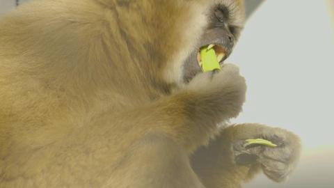 gibbon eating Live Action