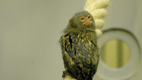 pygmy Marmoset sitting on a rope Stock Video Footage