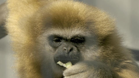 gibbon eating green Footage