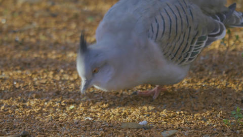 crested pigeon leans forward and forages on ground Live Action