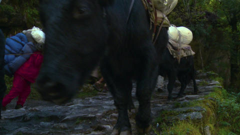 Cows and people passing on a rocky trail in Nepal Footage