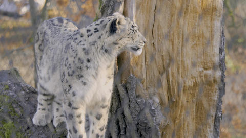 Snow Leopard on a stamp Footage