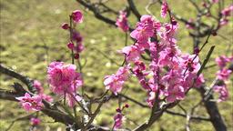 Plum blossom Footage