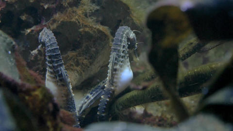 Pot-bellied sea horses floating in sea weed Live Action