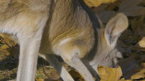 kangaroo grassing Stock Video Footage