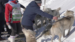 Group of doctors veterinary service checks husky dogs before Sled Dog Race Footage