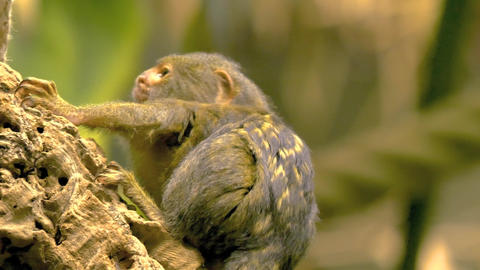 Pygmy Marmoset looking into a hollow stump Live Action