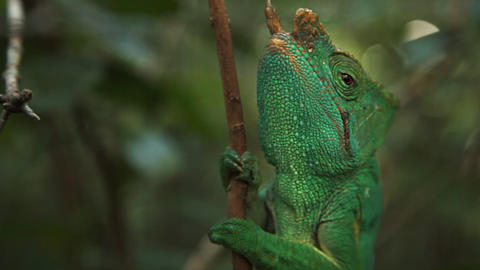 Up close view of chameleon on a branch in the jungle Footage