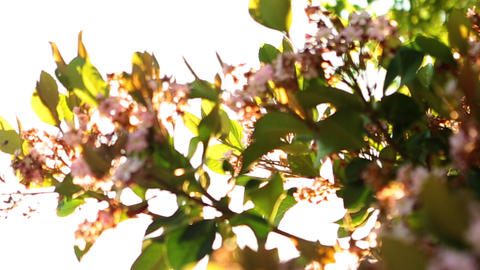 View of blossom on branches up against the sky Footage