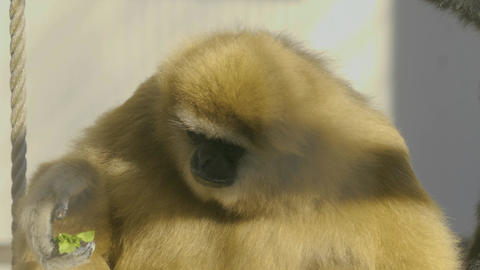 Gibbon eating greens Live Action