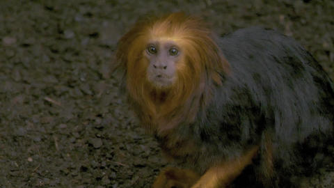 Golden headed lion tamarin monkey eating food from ground Live Action