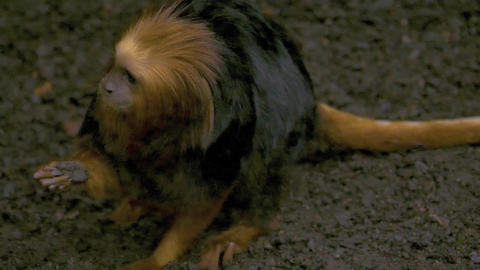Golden headed lion tamarin monkey finds food on ground Live Action
