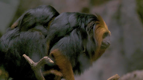 Golden headed lion tamarin monkey mother with two babies on her back- she jumps Live Action