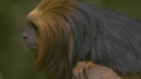Golden headed lion tamarin monkey looking left turns to camera Live Action
