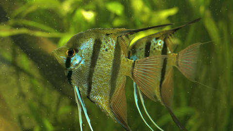 Close up two angelfish floating in front of water plants Footage