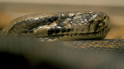 Close up of python's head- it flicks its tongue Live Action