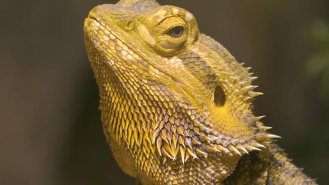 Close up profile of head of Bearded dragon lizard- pan right to tail Live Action