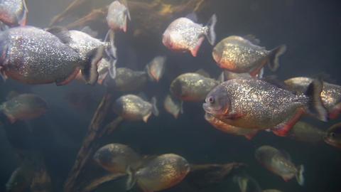 Piranhas fish underwater Footage