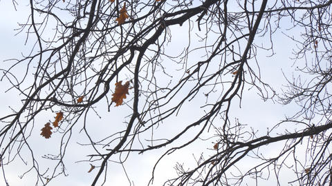 Alone dry oak leaf on a branch, swayed by wind Footage