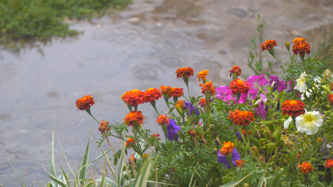 Orange flowers marigold against the background of raindrops in a puddle Footage
