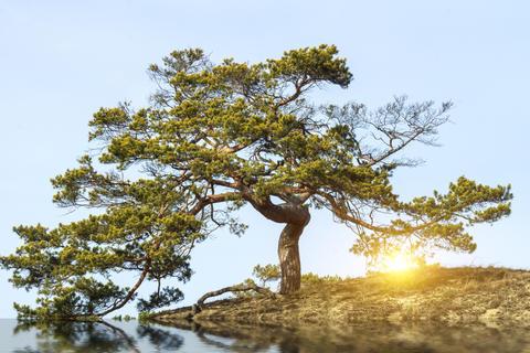 Sunset through pine Fotografía