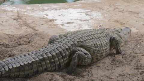 Large crocodile lying on the ground Footage