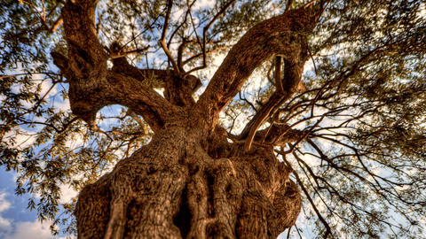 Tracking time-lapse looking up through an olive tree Footage