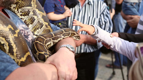 Huge snake Python at the hands of man Live Action