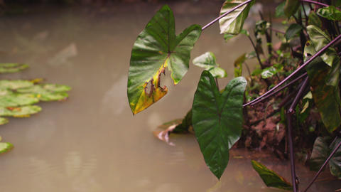 Leaves overhanging and floating in water Footage