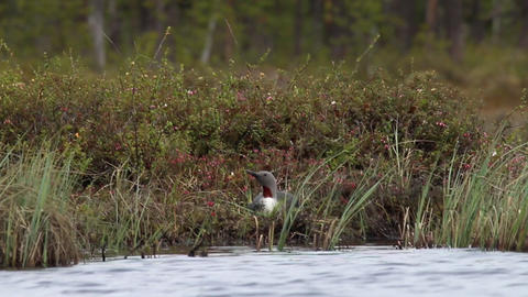 Red-throated diver hatches eggs in the nest Live Action