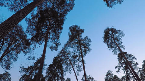 Old pine trees (pinery) sway in wind against evening sky. Trunks of trees Footage