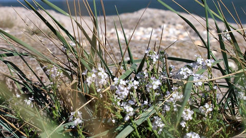 Flowering and fragrant plants on beach of Black sea Live Action