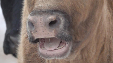 face of cow close-up, slowly opens mouth Live Action
