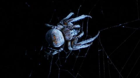 Spider on a night ambush Footage