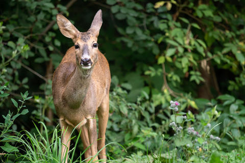 Roe deer in forest, Capreolus capreolus. Wild roe deer in nature フォト