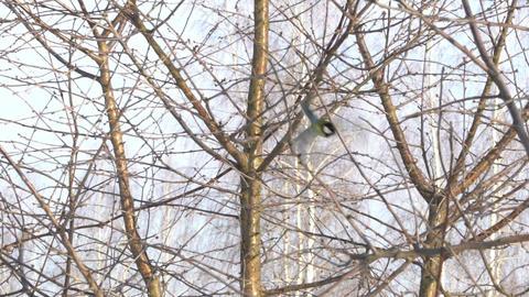 Tit bird (Parus major) pecks seeds in the bird feeder in winter. Slow motion Footage