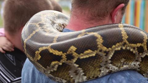 Huge snake Python around the shoulders of man Footage