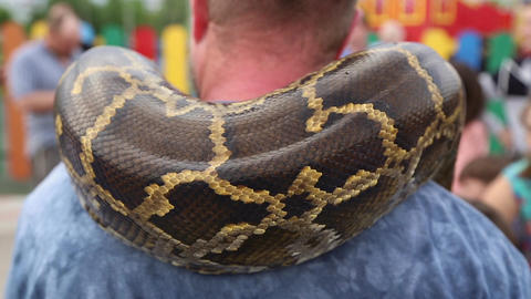 Huge snake Python around the shoulders of man Live Action