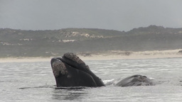 Southern Right Whale Mom and Baby Playing Footage