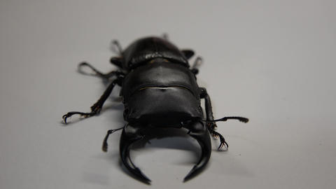 Japanese Stagbeetle Dorcus hopei binodulosusオオクワガタ ビデオ