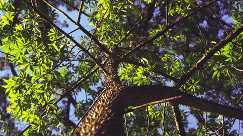 Low angle shot of thorny trunk and branches Footage